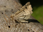 Scalloped Hazel (Odontopera bidentata)